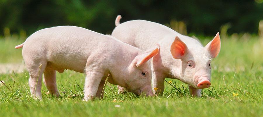 豚エラスチンのイメージ